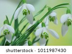 snowdrops with blurred...   Shutterstock . vector #1011987430