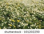 A field of daffodil flowers in springtime. - stock photo