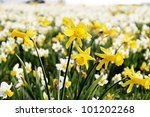 yellow and white daffodil flowers - stock photo