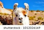 white alpaca looking straight... | Shutterstock . vector #1012026169