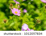 A Group Of Mexican Aster In Th...