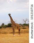 masai race giraffe in the... | Shutterstock . vector #101210716
