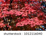 maple tree in autumn | Shutterstock . vector #1012116040