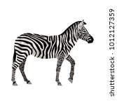 flat zebra isolated on white.... | Shutterstock .eps vector #1012127359