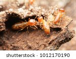 Close up of worker termites on...