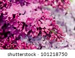 Purple Lilac Isolated On White...