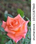 Stock photo rose pink nature 1012187860
