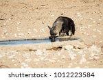 elusive and rare brown hyena | Shutterstock . vector #1012223584