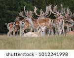 Large Group Of Fallow Deer On...