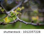 Tree Bud   Spring
