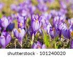 Violet Crocus In The Field