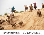 Small photo of Inner Mongolia, China-Aug 2, 2017: Mongolian horsemen chasing the double hump camels ( camelus bacterianus ) in a sand dune of the Mongolian desert.
