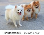 Group Of White Pomeranian Dog...
