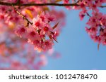 beautiful pink cherry blossoms | Shutterstock . vector #1012478470