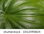 Small photo of Alocasia cucullata (Lour.) G.Don leaves close up, Green leaves texture background