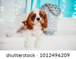 charming cavalier king charles... | Shutterstock . vector #1012496209