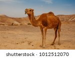 Camel in desert in israel  negev