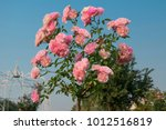 Stock photo pink rose flowers on beautiful rose bush in flowers garden at the morning with clear blue sky 1012516819