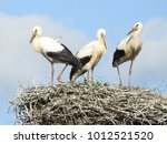 stork nest with three young...   Shutterstock . vector #1012521520