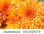 Ligth Orange Yellow Mum Flower...