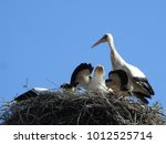 close up nest with young storks ...   Shutterstock . vector #1012525714