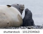 female elephant seal with...   Shutterstock . vector #1012534063
