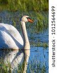 Mute Swan Swiming In A Lake