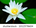 Close Up White Lotus Flower...