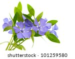 periwinkle flower isolated on... | Shutterstock . vector #101259580