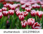 beautiful bouquet of tulips.... | Shutterstock . vector #1012598014