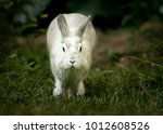 Stock photo a white rabbit lion head running in the garden in spring 1012608526