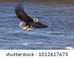American Bald Eagle Flying Wit...