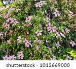 Bush Of Hibiscus Rosa Sinensis  ...