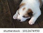 thai bangkaew dog   puppy... | Shutterstock . vector #1012676950