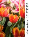 beautiful bouquet of tulips.... | Shutterstock . vector #1012719190