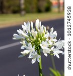 Small photo of Stately snow white agapanthus Lily of the Nile genus in subfamily Agapanthoideae of plant family Amaryllidaceae contrasted against the long green leaves is a popular feature plant .