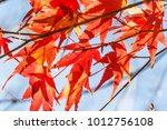 beautiful red maple leaves in... | Shutterstock . vector #1012756108