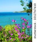 purple flowers along aegean sea ...   Shutterstock . vector #1012767610