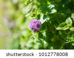 purple blooming flower of...   Shutterstock . vector #1012778008