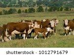 cattle herd australia  hereford ... | Shutterstock . vector #1012791679