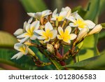 frangipani flowers in bloom. | Shutterstock . vector #1012806583
