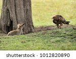 tawny eagle charging a bat... | Shutterstock . vector #1012820890