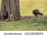 tawny eagle moving towards a... | Shutterstock . vector #1012820893