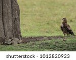 tawny eagle seeing a bat eared... | Shutterstock . vector #1012820923