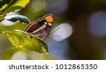 Small photo of Adelpha californica butterfly on a leaf.