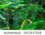 Canadian Hemlock Branches And...