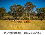 Grazing land on an Australian cattle property in South East Queensland. Herd of Charolais cross Brahman cows amongst the grass pasture with  ironbark trees beyond. Blue sky. Copy space. Darling Downs.