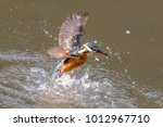 Common Kingfisher Diving With ...