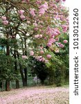 Small photo of Pink Rosy trumpet Tecoma tree and flower drop on ground