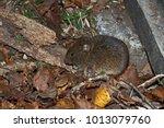 orkney vole   microtus arvalis  ...   Shutterstock . vector #1013079760